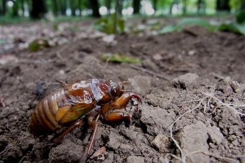 アブラゼミ幼虫.JPG