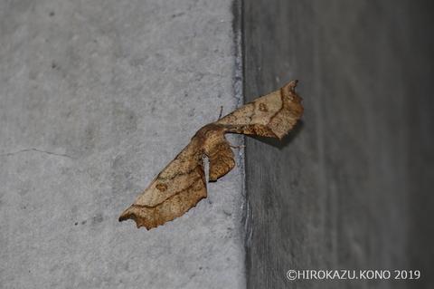 オオノコメエダシャク1119_1.jpg