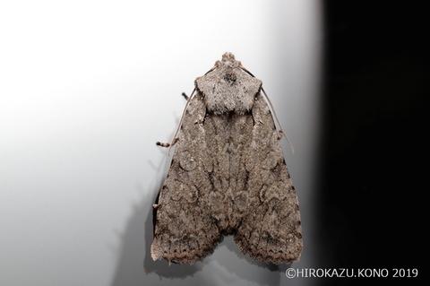 カシワキボシキリガ1216-2_1.jpg