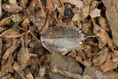 サツマゴキブリ0929-3.JPG