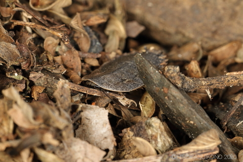 サツマゴキブリ0929-4.JPG