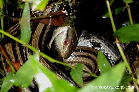 シマヘビ0922-2_1.jpg