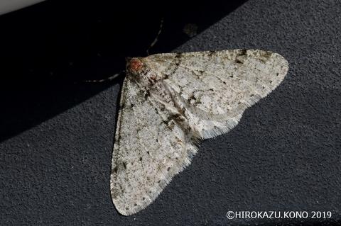 シロトゲエダシャク0221-1_1.jpg