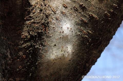 ジョロウグモ卵のう0222_1.jpg