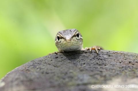 ニホンカナヘビ0613-2_1.jpg