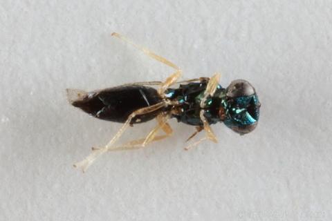 ホウネンタワラチビアメバチ0115-3.JPG