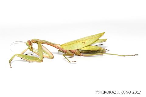 ムネアカハラビロカマキリ1218-1_1.jpg