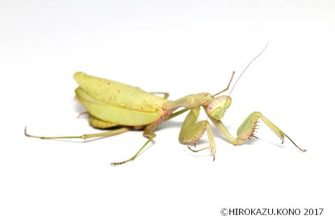 ムネアカハラビロカマキリ1218-2_1.jpg