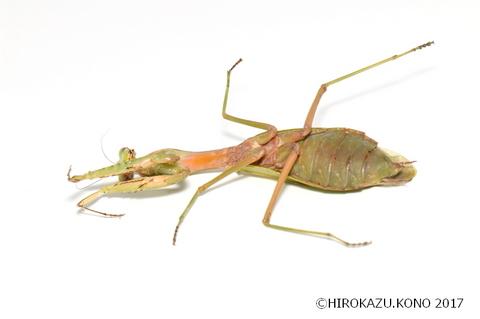 ムネアカハラビロカマキリ1218-3_1.jpg