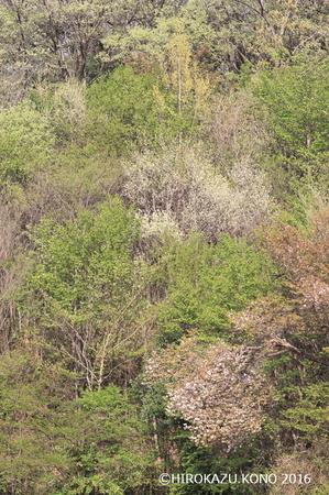 春の雑木林0412-1_1.jpg