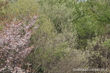 春の雑木林0412_1.jpg