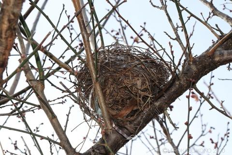 鳥の巣0116-2_1.jpg
